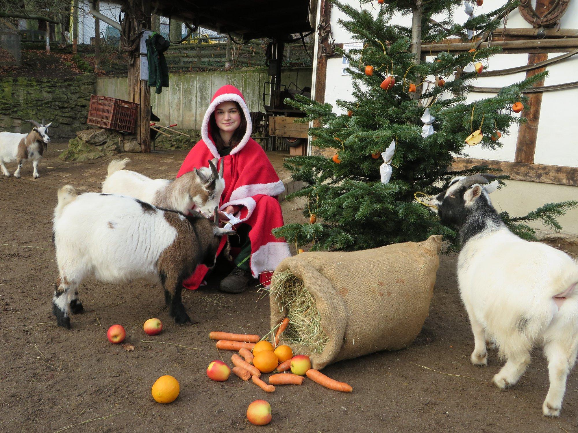 Der Weihnachtsbaum bei den Ziegen.